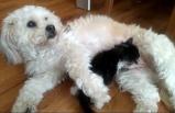 Mişa, kediye annelik yapıyor!