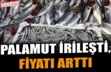PALAMUT İRİLEŞTİ, FİYATI ARTTI