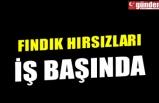 FINDIK HIRSIZLARI İŞ BAŞINDA