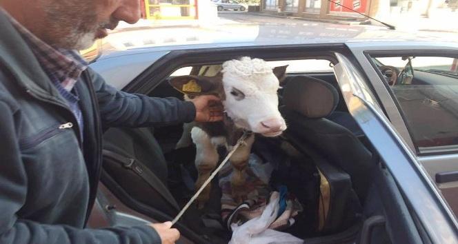 Buzağısını veterinere arka koltukta götürdü