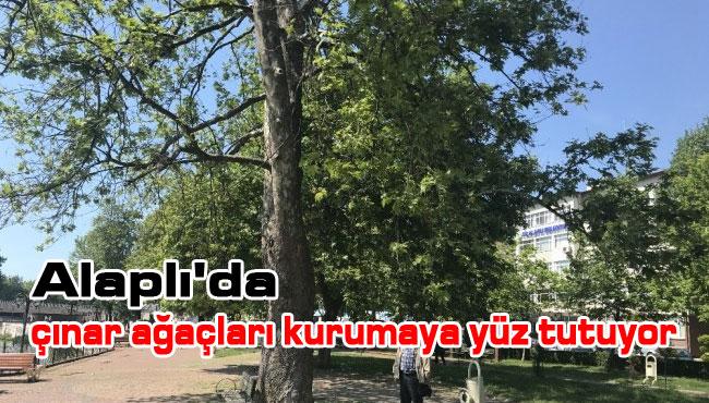 Alaplı'da çınar ağaçları kurumaya yüz tutuyor