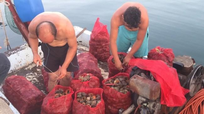 Deniz salyangozu balıkçıların geçim kaynağı