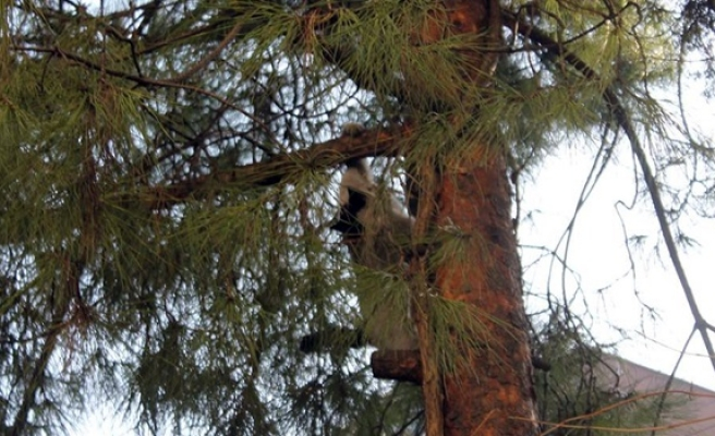 İki gündür ağaçta mahsur kaldı
