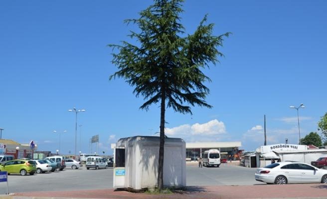 Çam ağacını mesken tuttular