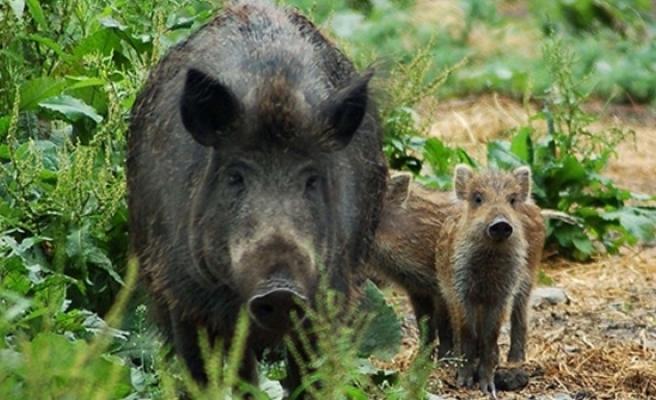 Yaban domuzlarının verdiği zararlar sigorta kapsamına alındı