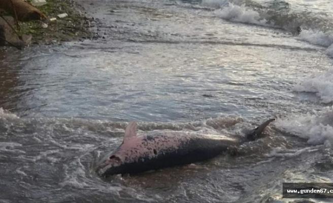 Yunus balığı sahile vurdu!..
