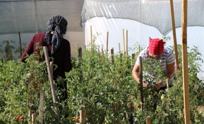 Örtü altı sebze yetiştiriciliği kursiyerleri emeklerinin karşılığını topladı