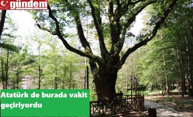 Atatürk'ün gölgesinde ayran içtiği ağaç tescillendi