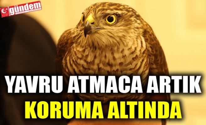 YAVRU ATMACA ARTIK KORUMA ALTINDA