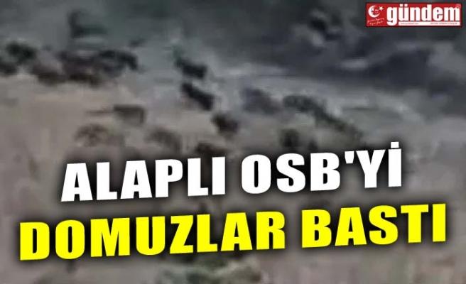 ALAPLI OSB'Yİ DOMUZLAR BASTI