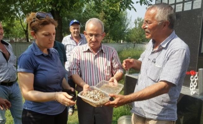 Pilot bölge'de Beyaz Kelebeği ile mücadelede yeni dönem