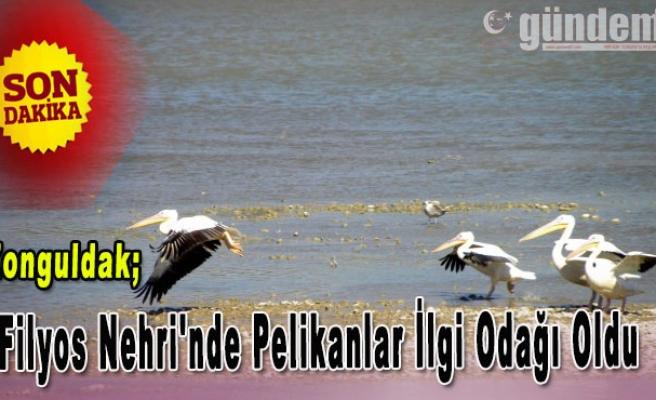 Filyos Nehri'nde Pelikanlar İlgi Odağı Oldu