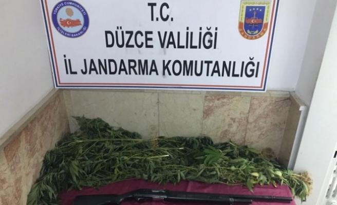 Düzce'de Zehir Tacirinden  48 kök kenevir bitkisi yakalandı.