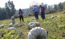 Türkiye'nin kabak ambarında hasat başladı