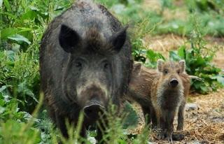 Yaban domuzlarının verdiği zararlar sigorta kapsamına...