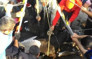 Su kanalına düşen hamile ineği itfaiye kurtardı