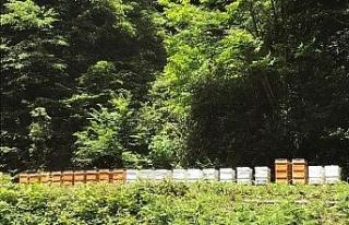 Arıların Kestane Balı Mesaisi Başladı