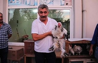 Bu tavuklar kuzu fiyatına satılıyor