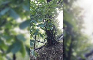 5 asırlık ağaca koruma talebi