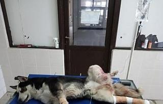 Kazada yaralanan köpek tedavi altına alındı