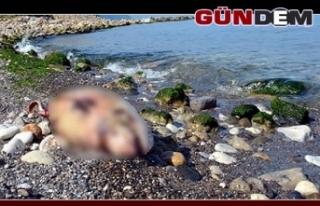 İki yunus sahile vurdu!..