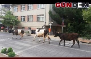 Şehir merkezinde dolaşan büyükbaş hayvanlar trafikte...