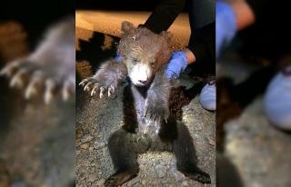 Köpeklerin saldırdığı yavru ayı telef oldu