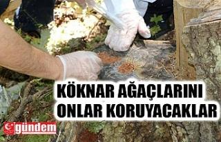 KÖKNAR AĞAÇLARI İÇİN 12 BİN 500 KOMANDO BÖCEĞİ...