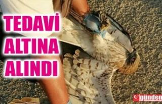 YARALI KARTAL TEDAVİ ALTINA ALINDI