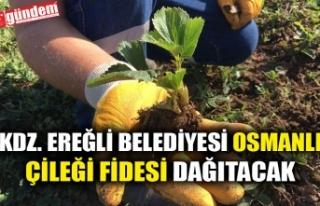 KDZ. EREĞLİ BELEDİYESİ OSMANLI ÇİLEĞİ FİDESİ...