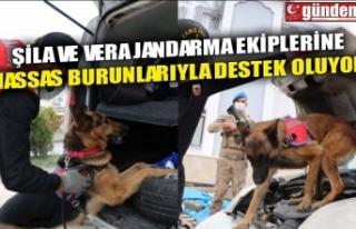 ŞİLA VE VERA JANDARMA EKİPLERİNE HASSAS BURUNLARIYLA...