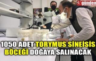 1050 ADET TORYMUS SİNEİSİS BÖCEĞİ DOĞAYA SALINACAK