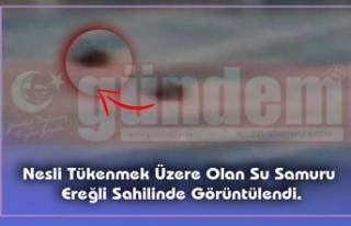 Nesli Tükenmek Üzere Olan Su Samuru Ereğli Sahilinde...