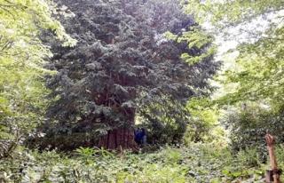 Dünyanın en büyük beşinci ağacı Zonguldak´ta