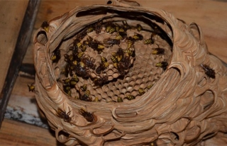 Katil arılarından Türkiye´de bir ilk