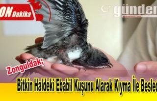 Bitkin Haldeki Ebabil Kuşunu Alarak Kıyma İle Besledi