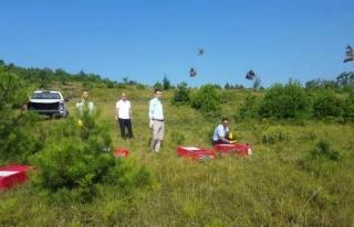 Zonguldak'ta 2 bin keklik doğaya salındı