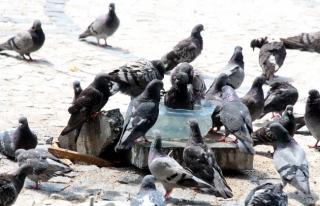 Güvercinler su kabında serinledi