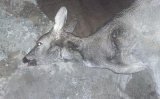 Kaçak avcılar Akçakoca'da bir karacayı telef etti