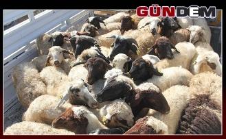 çiftçilere koyun dağıtımı yapılacak