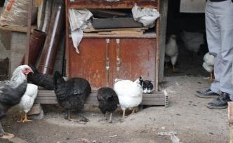 Kedi ile tavukların dostluğu