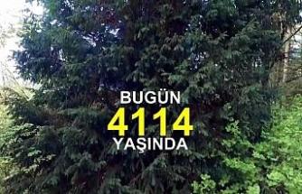 En yaşlı ağaç dünyaya tanıtıldı