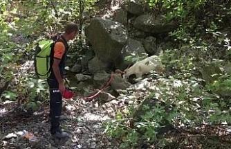 Kayalıklarda mahsur kalan keçiyi AFAD ekipleri kurtardı