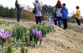 Kırmızı altın safran için hasat etkinliği düzenlendi
