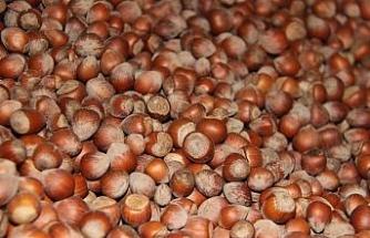 Düzce'den Avrupa'ya beş ayda 3 bin 758 ton iç fındık ihraç edildi