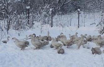 Kazların kar banyosu keyfi