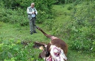 Köye inen aç kurtlar ineği telef etti
