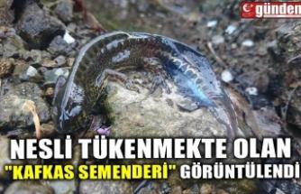 """NESLİ TÜKENMEKTE OLAN """"KAFKAS SEMENDERİ"""" GÖRÜNTÜLENDİ"""