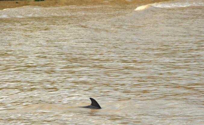 Alaplı Çayı'nda ilk kez yunus balığı görüldü