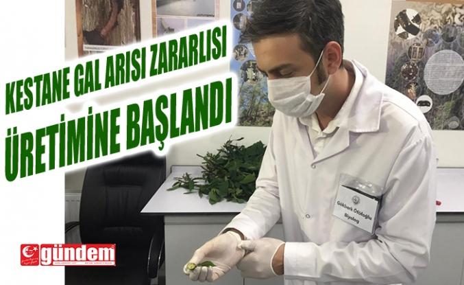 KESTANE GAL ARISI ZARARLISI ÜRETİMİNE BAŞLANDI